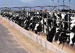 Factory farming, cows