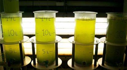 Algae test tubes. Stock photo.
