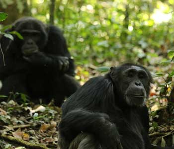 Ngogo chimps by Nathan Chesterman.