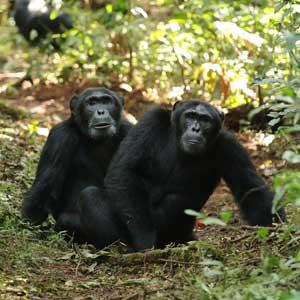 Ngogo chimps in Uganda