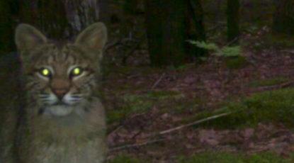 Michigan bobcat selfie