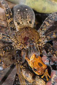 A wandering spider (genus Ancylometes) in the lowland Amazon rainforest preying on a tree frog