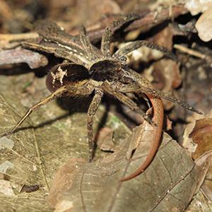 A wandering spider (Ctenidae) preying on a subadult Cercosaura eigenmanni lizard.