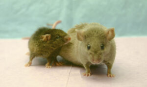 Small mouse and fat mouse