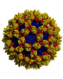 """Nasty Noro"" BioArtography image. Noroviruses have a similar overall structure to coronaviruses, but noroviruses are molecularly very distinct. Noroviruses cause the majority of viral-induced diarrhea/vomiting in places where crowds gather."