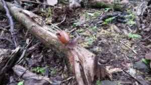 A rosy wolf snail
