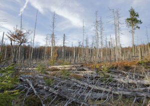 stock photo of Dead trees in Bavarian forest because of acid rain