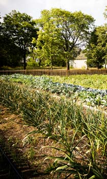 Rows of green shoots have taken the place of abandoned lots. (Image by Dave Lewinski.)