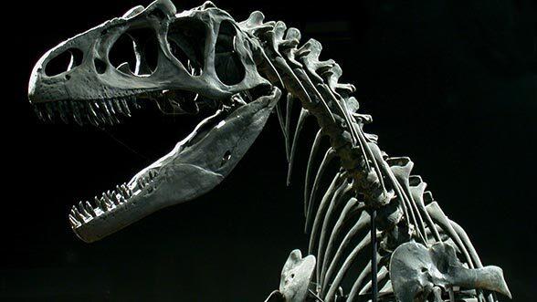 Allosaurus, head and shoulder, left. UMMNH, 2017