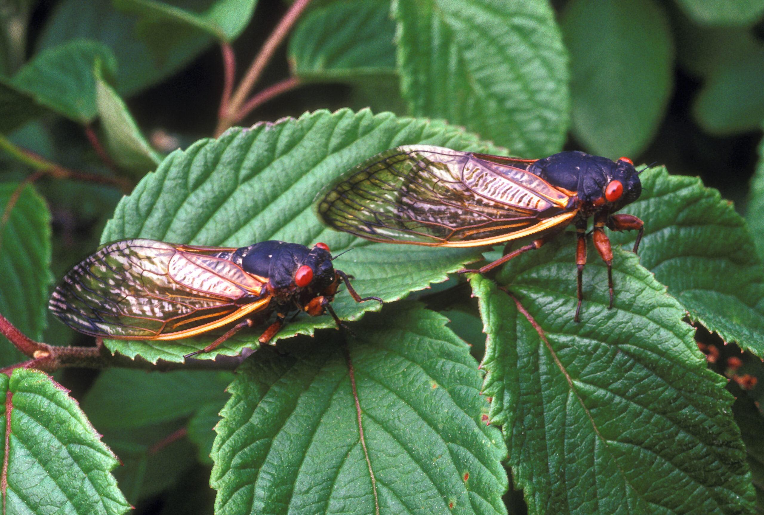 The Brood X Cicada